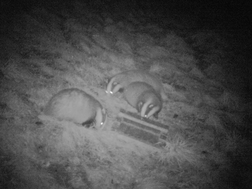 Three badgers competing for peanuts