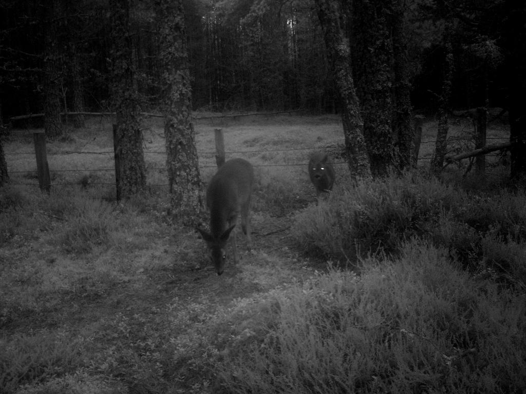 Two roe deer taken with infra red camera