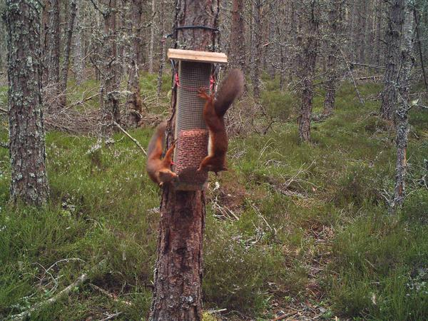 2 red squirrels