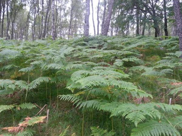Bracken at the Aviemore sett