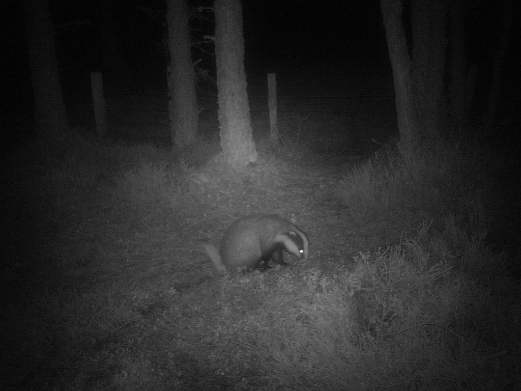 Badger at the corner post