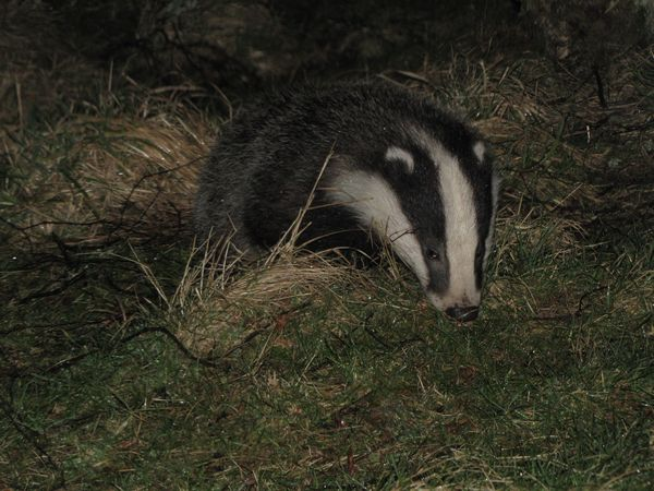 Badger near the hide