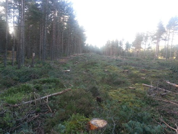 Hundreds of felled trees