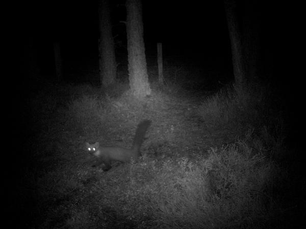 Pine marten on the Corner Post camera