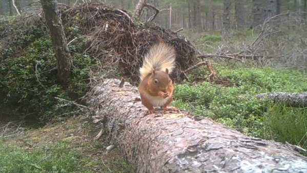 Red squirrel on fallen trunk