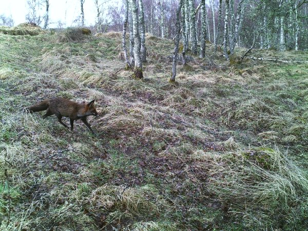 Fox at Auchgourish