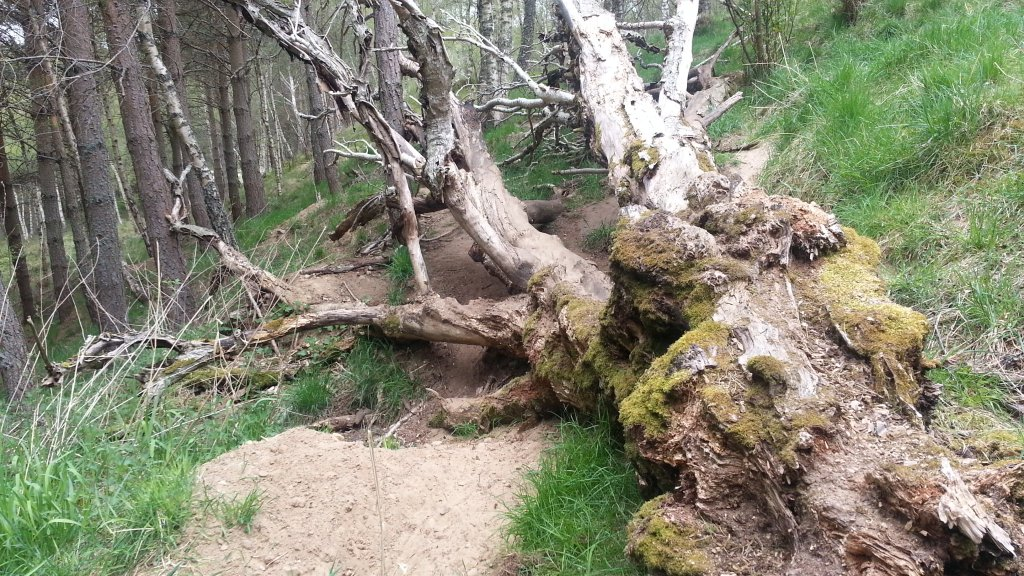 Knock badger sett and fallen tree