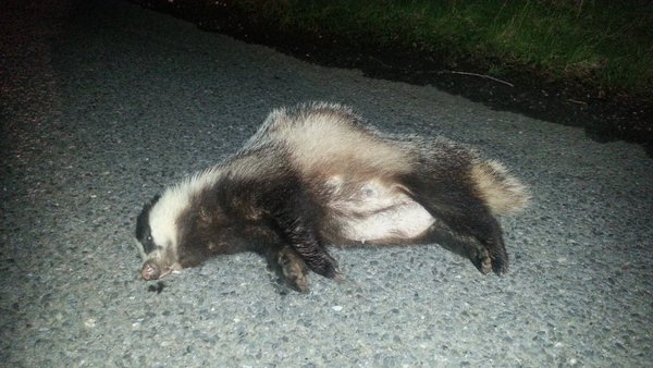 Lactating female badger on B970