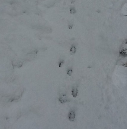 Fox prints in snow