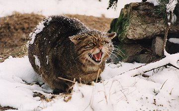 Wildcat Hissing