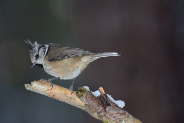 Crested tit in January
