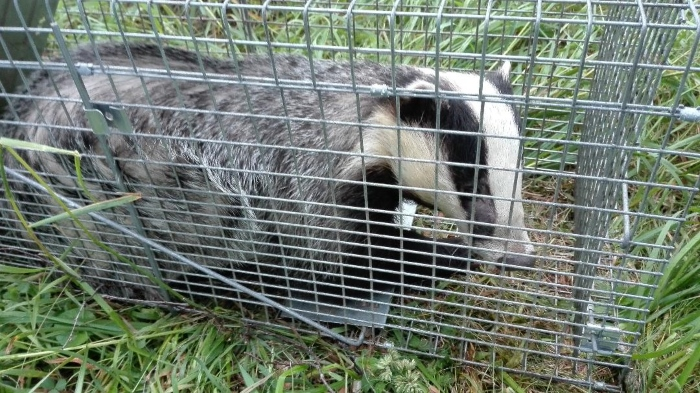 Badger in trap