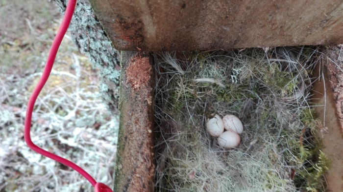 Three eggs in a nest box