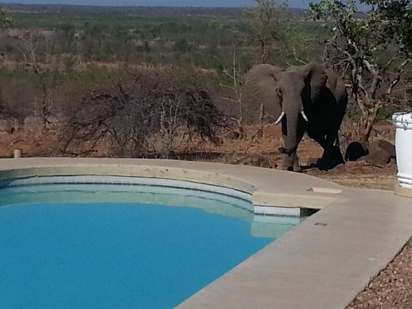 Elephant by the pool