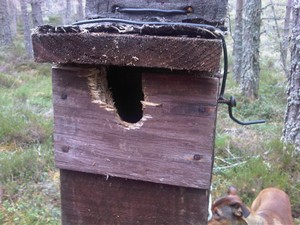 Nest box with woodpecker damage
